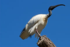 australijskiego drzewny ibisa white Fotografia Stock