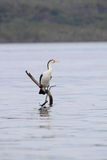 australijskiego kormoranu phalacrocorax australijski varius Fotografia Stock