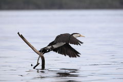 australijskiego kormoranu phalacrocorax australijski varius Zdjęcia Stock