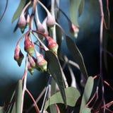 Australijskiego miejscowego srebra Princess cezów Eukaliptusowi pączki zdjęcie stock