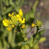 Australijskiego rodzimego pszczół organicznie boc choy kwiat Obraz Stock