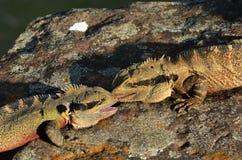 australijskiego smoka wschodnia woda Zdjęcia Stock