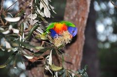 Australijskiego tęczy Lorikeet łasowania nektaru rodzimy kwiat Fotografia Stock