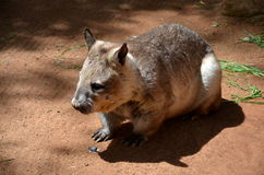 Australijskiego wombat Vombatus nieletni ursinus Obrazy Royalty Free