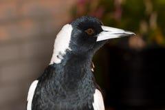 Australijskiej sroki profil Zdjęcie Royalty Free
