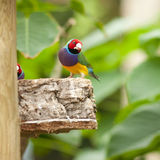Australin Gouldian Finch Stock Photography