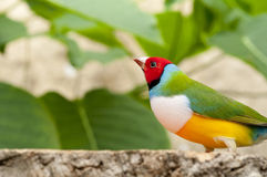 Australin Gouldian Finch Royalty Free Stock Images