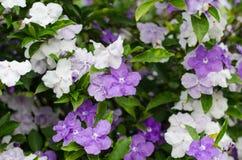 Australis Brunfelsia Royalty-vrije Stock Afbeelding