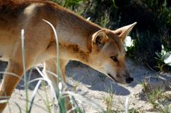 Australisch Dingodier op strand in Fraser Island Queensland stock foto