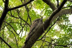 Australisch Tawny Frogmouth Royalty-vrije Stock Foto's