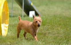 Australisch Terrier bij een Proef van de Hondbehendigheid royalty-vrije stock afbeeldingen