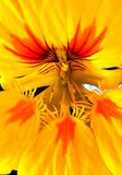 Australisch Wildflower-behang Royalty-vrije Stock Afbeeldingen