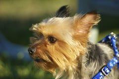 Australisch Zijdeachtig Terrier stock foto