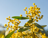 Australische acacia Royalty-vrije Stock Fotografie