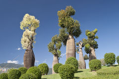 Australische Baobabbäume im botanischen Garten Stockbilder