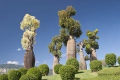 Australische baobabbomen in botanische tuin Stock Afbeeldingen