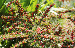 Australische Beeren Stockfoto