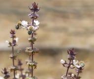 Australische Blauwe Gestreepte Bijen Amegilla en basilicum Royalty-vrije Stock Foto