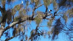 Australische Bonte Aalscholvers en Australasian Darter Royalty-vrije Stock Afbeelding