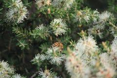 Australische boom en bloemen Stock Foto