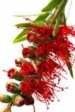 Australische Bottlebrush Royalty-vrije Stock Afbeeldingen