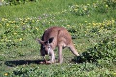 Australische Bruine Kangoeroe die de Grond krast Stock Afbeelding