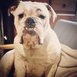 Australische Bulldogge Lizenzfreie Stockbilder