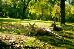 Australische cangaroos, die auf dem Gras sich entspannen Stockfotos