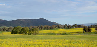 Australische Canola-Felder Lizenzfreie Stockfotografie