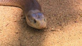 Australische copperhead Schlange stock footage