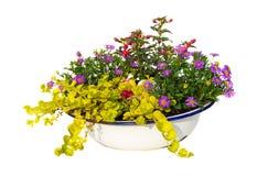 Australische Daisy en andere tuininstallaties in een oude wasching kom Royalty-vrije Stock Foto