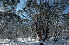 Australische die bomen in sneeuw worden behandeld Royalty-vrije Stock Fotografie