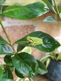 Australische die GreenTree-kikker op een groen blad wordt neergestreken stock fotografie