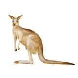 Australische die kangoeroe op een witte achtergrond wordt geïsoleerd Stock Foto's