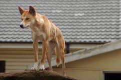 Australische dingo stock fotografie