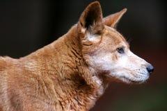 Australische Dingo Royalty-vrije Stock Afbeeldingen