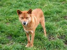 Australische dingo Stock Foto's