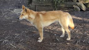 Australische dingo stock video