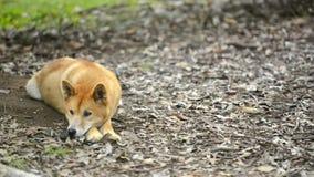 Australische dingo stock videobeelden