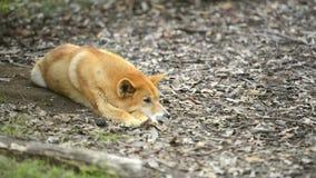 Australische dingo stock video