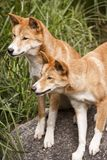 Australische Dingoes stock foto