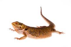 Australische draak in tak stock afbeeldingen