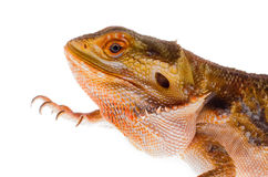Australische draak in tak royalty-vrije stock afbeeldingen