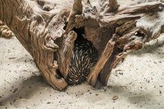 Australische echidna die (Tachyglossus-aculeatus) inisde een boom verbergen royalty-vrije stock foto