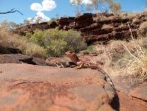 Australische Eidechse Stockfotos