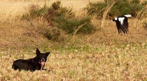 Australische Elster, die den Bauernhofhund Swooping ist Stockbilder