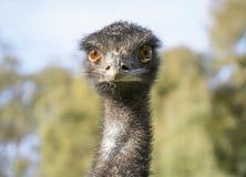 Australische Emoe (Dromaius Novaehollandiae) - slechts Hoofd Stock Afbeelding