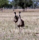 Australische Emoes in de wildernis. royalty-vrije stock foto