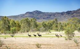 Australische Emoes in de wildernis Royalty-vrije Stock Foto's