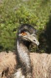 Australische Emus im wilden Stockfoto